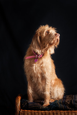 Wire haired vizsla studio portrait