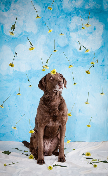 Small yellow daisies rain down on cute brown dog