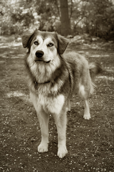 B&W dog portrait sepia