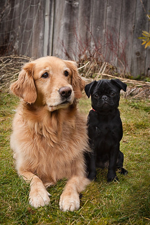Photo of an adorable pug puppy with beautiful golden retriever