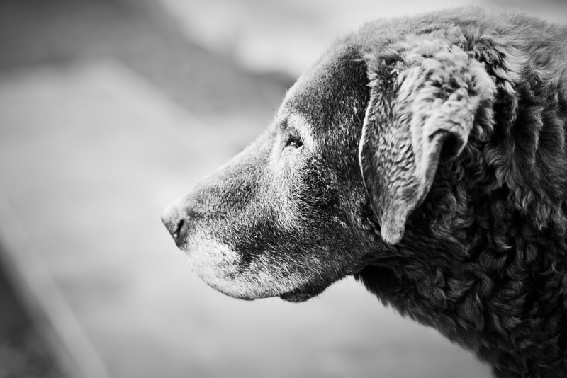 Black and white photograph of an old dog