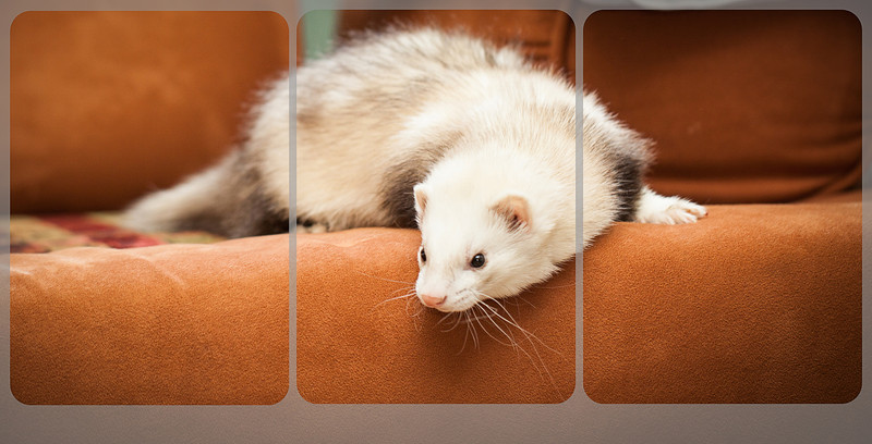 Ferret pet portrait photograph