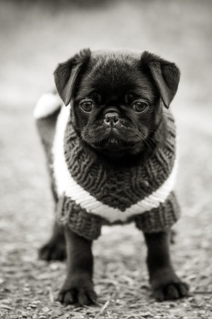 Adorable puppy in a sweater B&W