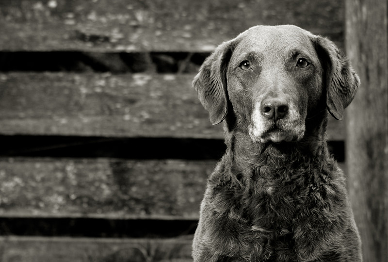 B+W dog portrait photograph