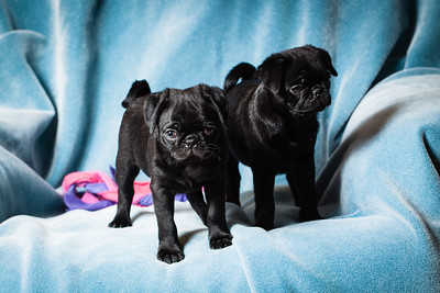 Standing pug puppies
