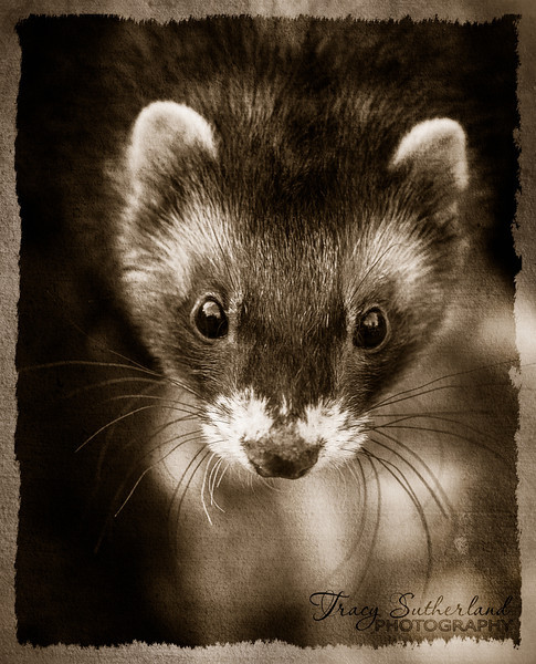 vintage style portrait of a ferret
