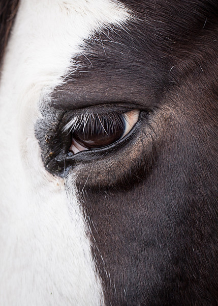 Tobiano horse eye close up showing eyelashes