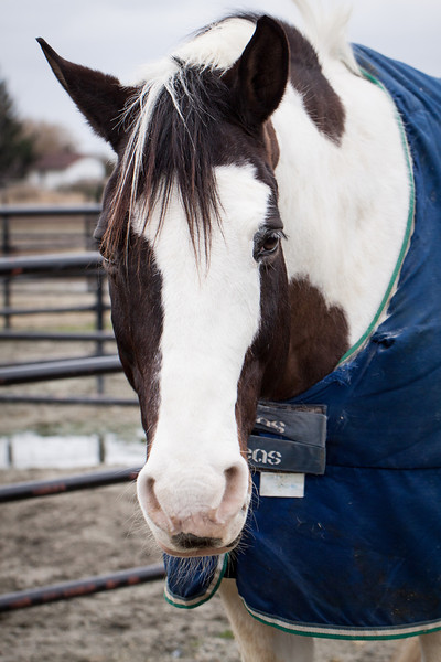 Tobiano pinto horse in Vancouver BC