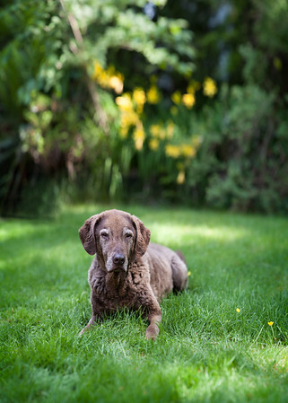 Portrait of a brown dog in front of yellow flowers