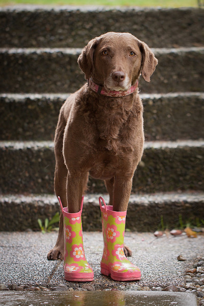 Cute photo of a retriever dog in rubber boots
